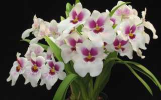 Мильтония уход за орхидеей