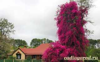 Описание цветка бугенвиллия и его фото