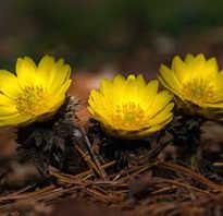 Адонис весенний описание и фото применение выращивание из семян