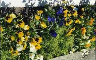 Цветник рабатка из виолы и кохии