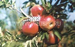 Сорт яблони айдаред фото и описание сорта