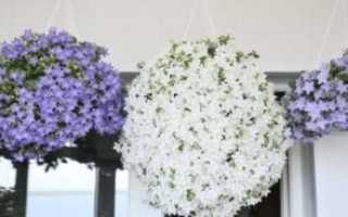 Как ухаживать за цветком жених и невеста в домашних условиях