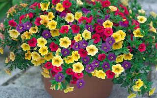 Цветок петуния уход