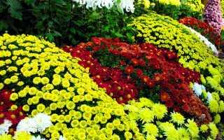 Как пересадить хризантему осенью