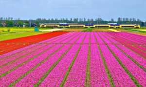 Родина тюльпанов и описание цветков