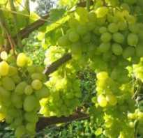Обрезка винограда восторг