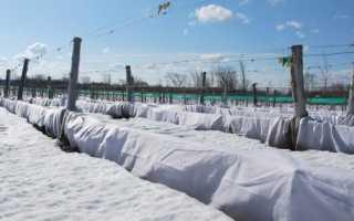 Как сохранить урожай винограда на зиму