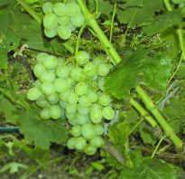 Обрезка винограда восторг осенью