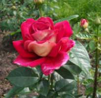 Как правильно сажать розу