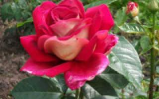 Как правильно садить розы