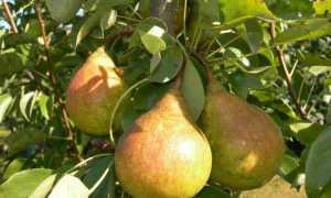Как омолодить грушу осенью