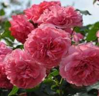 Заметки о зимостойких розах