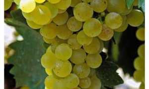 Купить виноград мускат блау