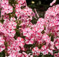 Флокс многолетний популярные сорта и выращивание