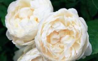 Какие есть цветы похожие на розы
