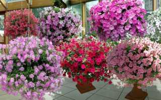 Цветы петуния посадка