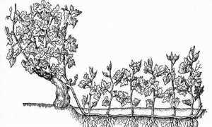Как рассадить виноград отводками