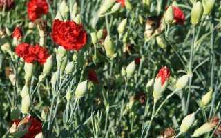 Гвоздика шабо история сорта выращивание