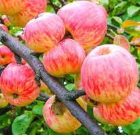 Сорта опылители для яблонь