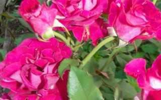 Вредители листьев садовой розы и защита от них