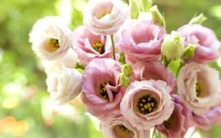 Цветы лизиантус эустома или ирландская роза во всей своей красе