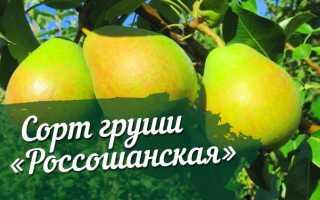 Груша россошанская поздняя фото