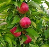 Летние сорта колоновидных яблонь для подмосковья