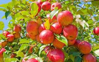 Обрезка яблони летом для начинающих в картинках