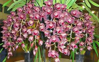 Как ухаживать за орхидеей цимбидиум в домашних условиях