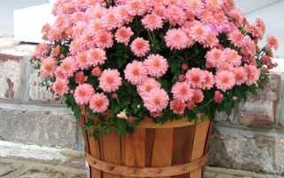 Можно ли высаживать комнатную хризантему в открытый грунт