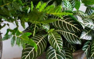 Комнатные лиственно декоративные растения