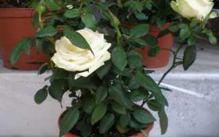 Комнатная роза уход зимой