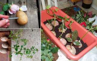 Как посадить розу из букета Как размножить розы из букета
