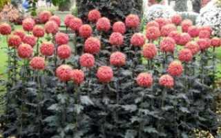 Какие есть многолетние сорта садовых хризантем
