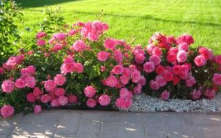 Бордюрные розы посадка и уход фото