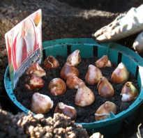 Тюльпаны посадка осенью