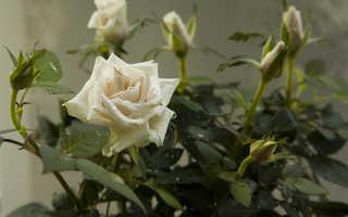 Жизненная форма розы