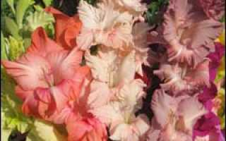 Гладиолус зимние заботы о клубнелуковицах и яровизация