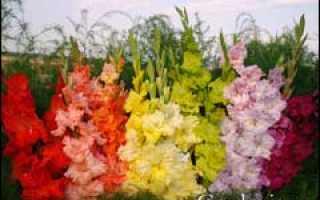 Гладиолус мой любимый цветок