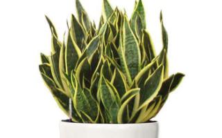 Комнатное растение щучий хвост сансевиера