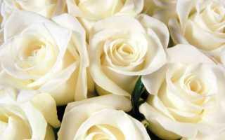 Бледно розовые розы