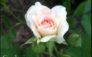 Как сохранить корнесобственную розу зимой