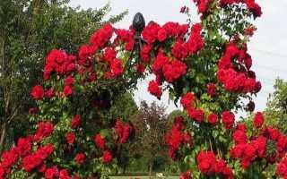 Как подготовить вьющуюся розу к зиме