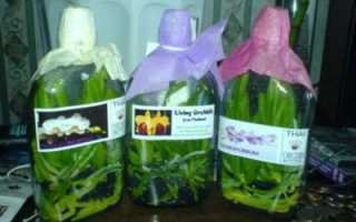 Орхидея из таиланда пересадка и уход