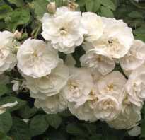 Как размножать розы черенками в открытом грунте