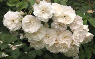 Как правильно черенковать розы