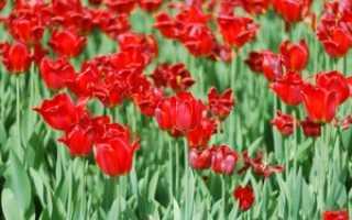 Правила размножения тюльпанов