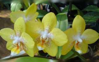 Орхидея уход в домашних условиях фаленопсис уход в домашних условиях