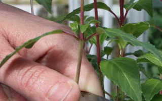 Как укоренить фуксию черенками осенью или весной