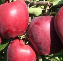 Сорта осенних яблок фото с названием